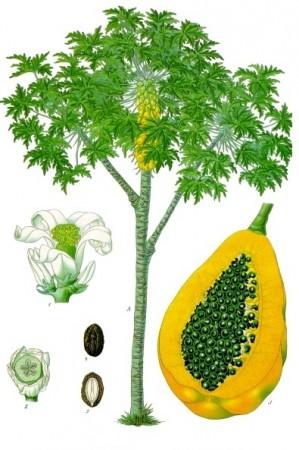 Carica_papaya_-_Köhler–s_Medizinal-Pflanzen-029